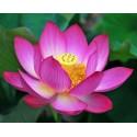 Poudre de lotus sacré