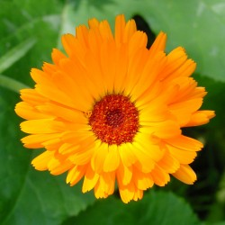 fleur calendula
